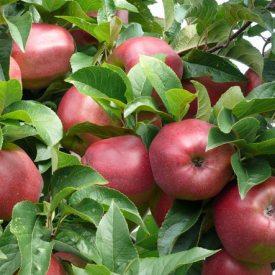 Apfel Selbstpflücke