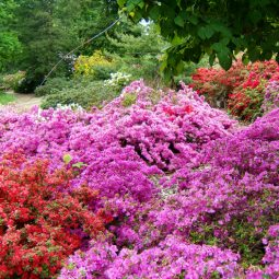 Azaleen im Rhododendronpark Wa