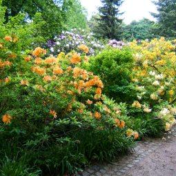Azaleen und Rhododendren in Wa