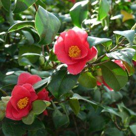 Einzelblüten der Pillnitzer Kamelie