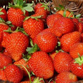 Erdbeer Selbstpflücke Gut Pesterwitz