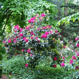 Im Rhododendrongarten Wachwitz