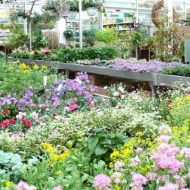 Pflanzenangebot Gärtnerei Pfitzner
