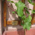 Goldriesling an der Weinlehrschau in Weinböhla