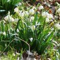 Märzenbecherwiesen Polenztal